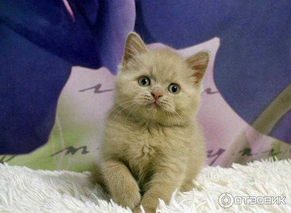сноу сити питомник кошек