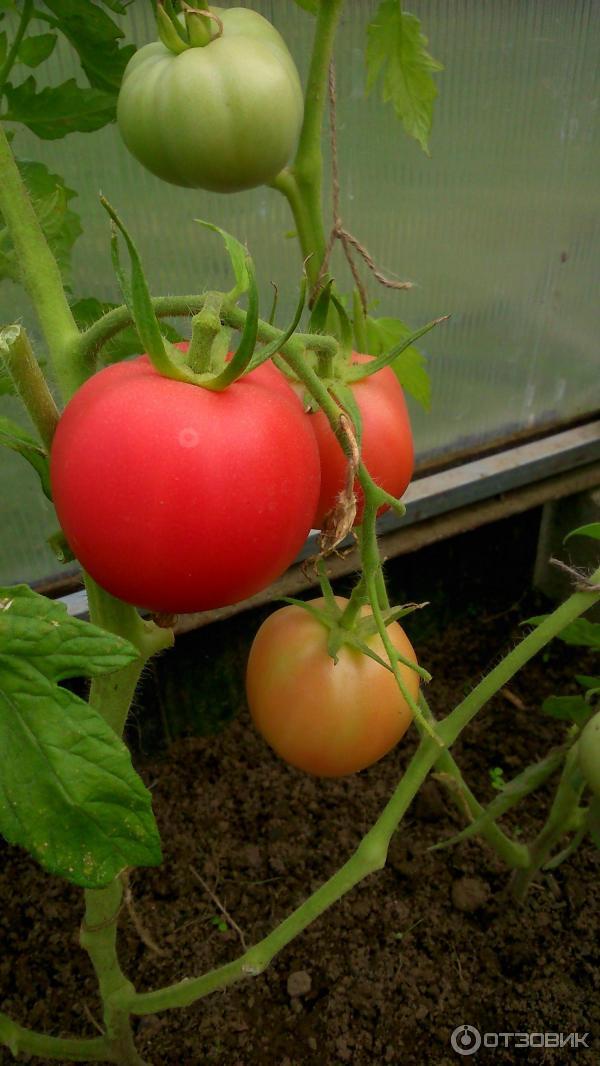 Алтайские семена помидор
