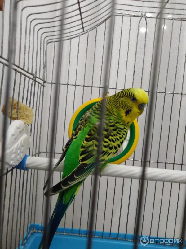 Волнистый попугай тоша