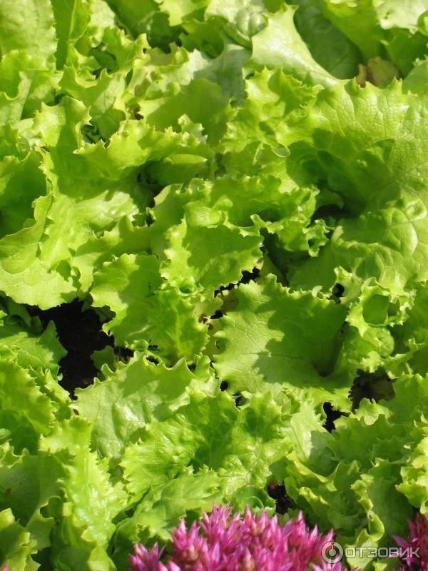 Салат кучерявец одесский выращивание из семян 63