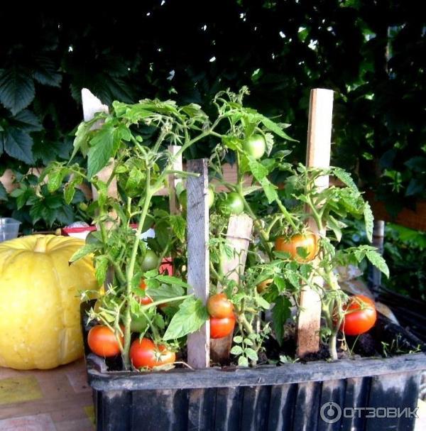 Помидоры в ящике выращивание 37