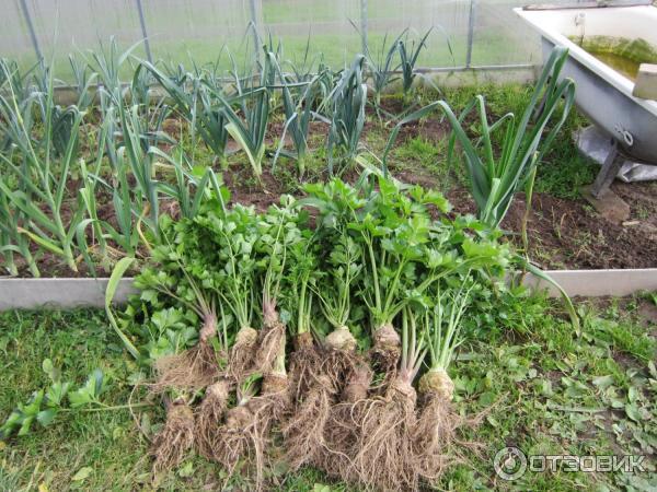 Сельдерей корневой егор выращивание из семян 90