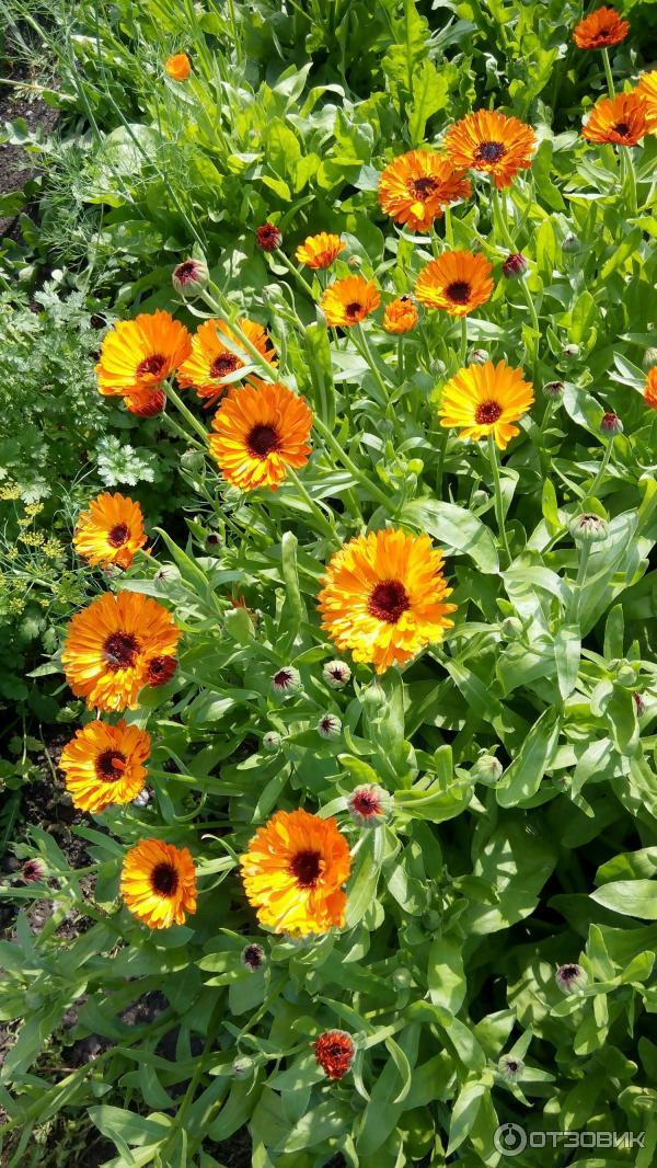 Выращивание календулы на семена