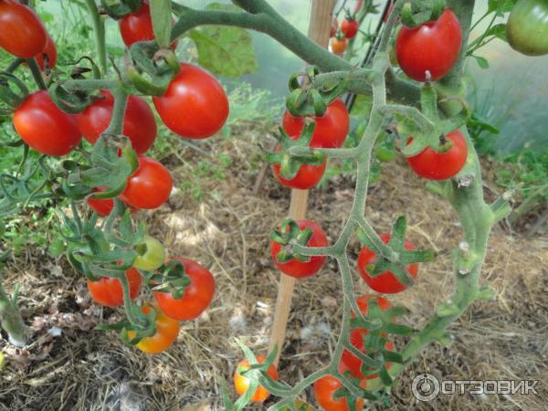 фото томатов дюймовочка узтукимачиликсаноат сформирует