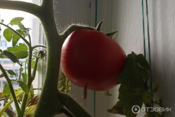 Условия для выращивания абрикоса 29