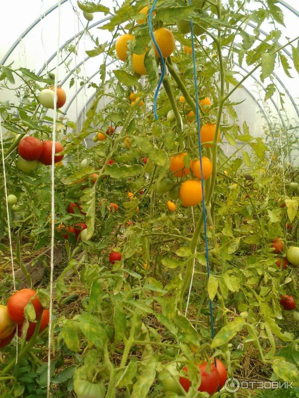 томат де барао желтый отзывы фото