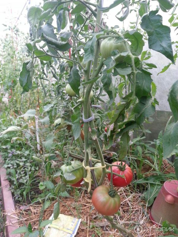 томат чудо земли описание сорта фото отзывы