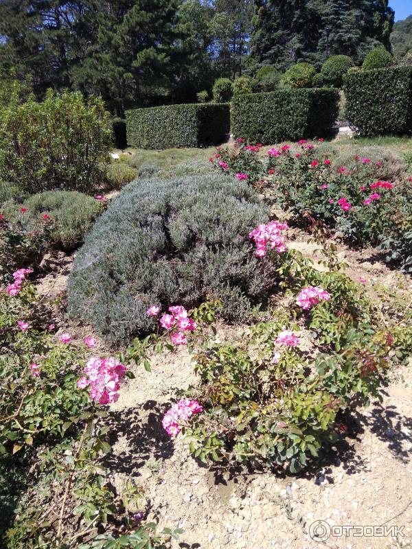 цветок массандра фото тюльпановидной герани