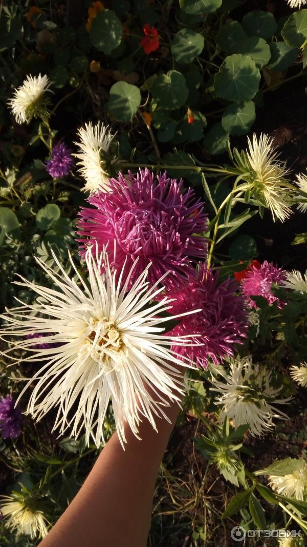 Цветок аэлита картинки